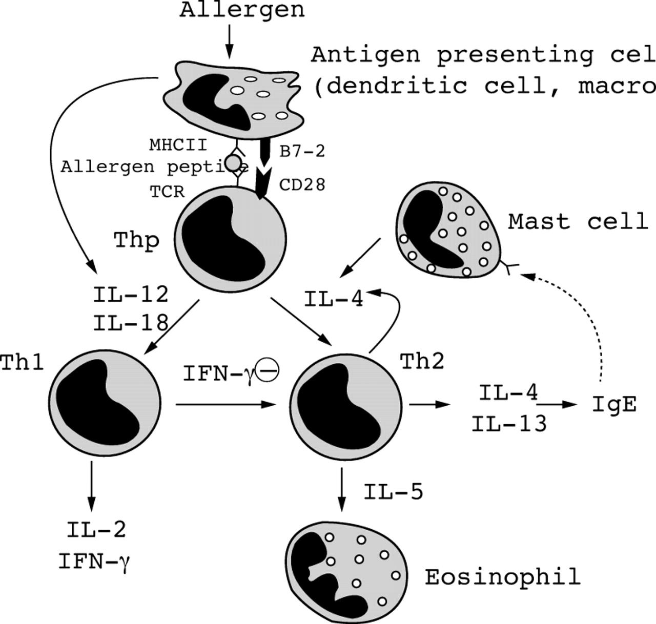 Cytokines in asthma   Thorax