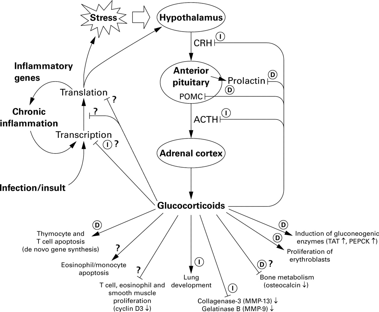 molecular mechanisms of glucocorticoid action  what is important