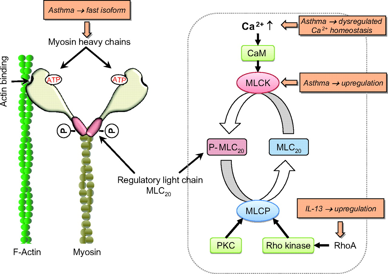 Ca2+ homeostasis and structural and functional remodelling