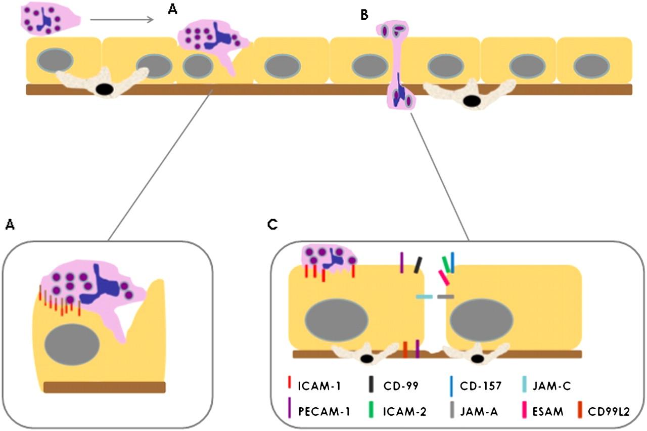 Mechanisms of neutrophil transmigration across the vascular