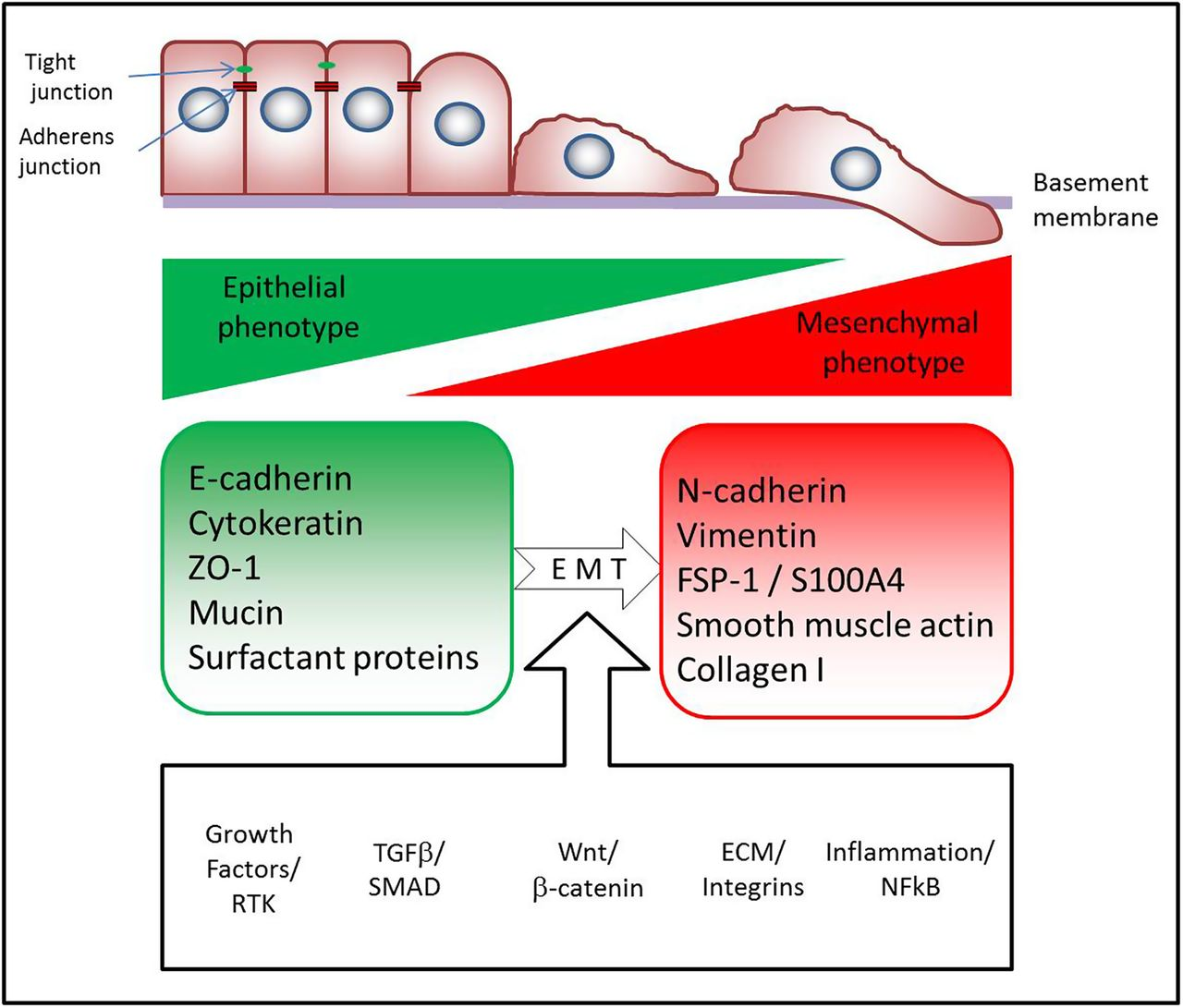 Epithelial Mesenchymal Transition In Lung Development And