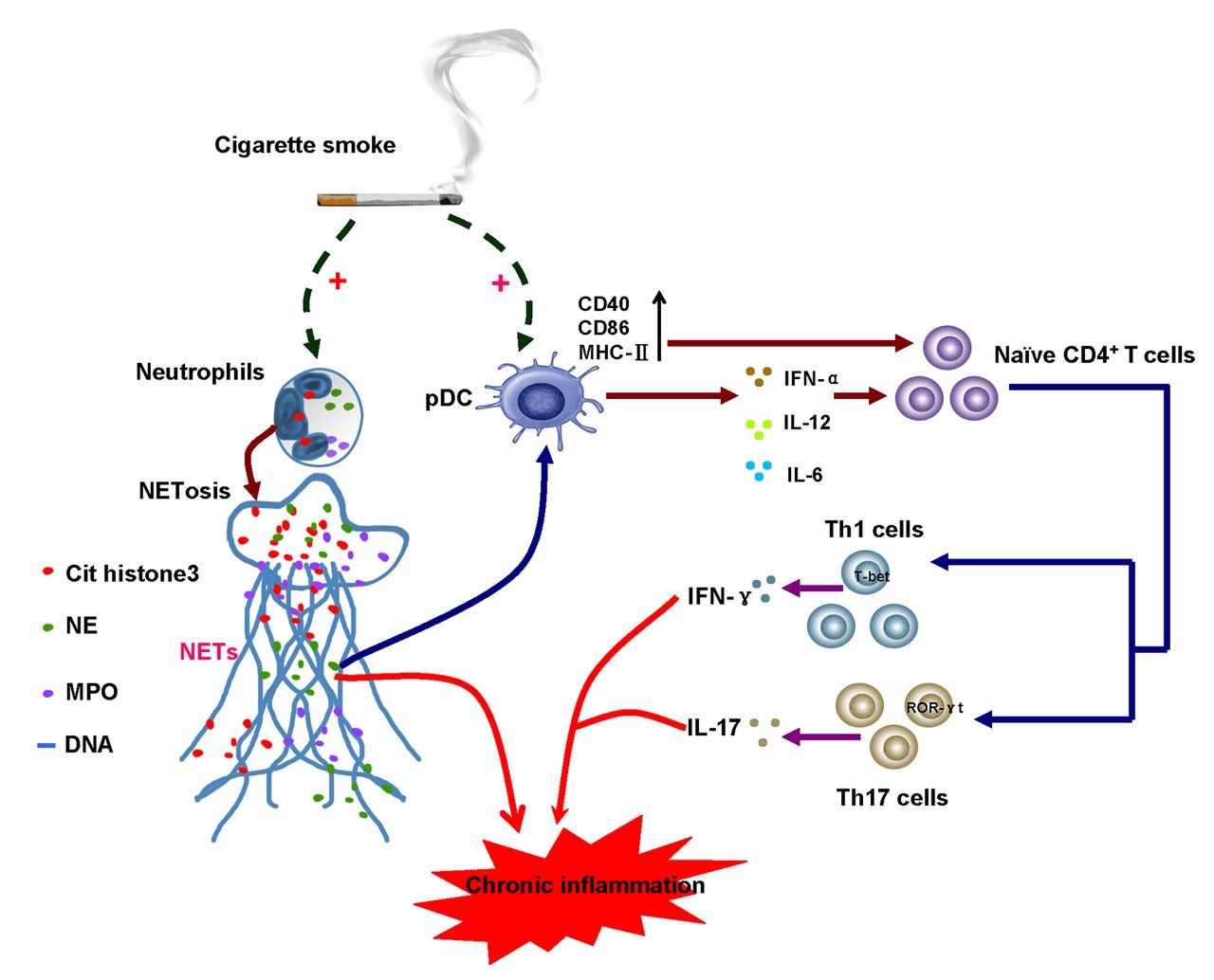 Neutrophil extracellular traps induced by cigarette smoke